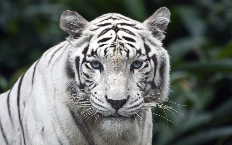 tigre-blanco-wallpapers-20713-2560x1600